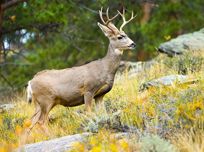 ochoco forest mule deer wildlife habitat restoration