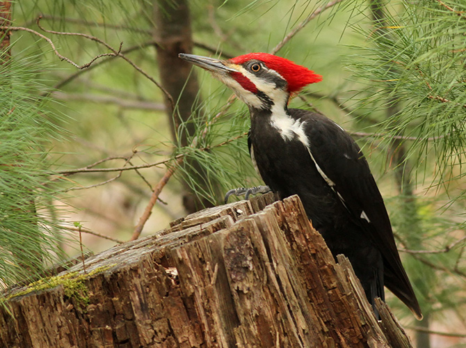 pileated woodpecker wildlife habitat ochocos