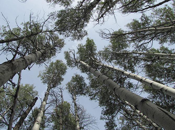 aspen management ochoco forest oregon