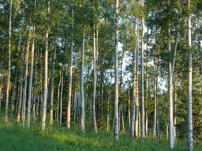 aspen restoration ochoco national forest